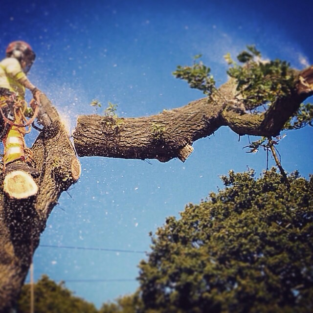 Tree surgeons, Wolverhampton, removing oak tree.